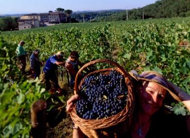 Vynuogynas